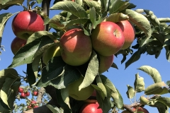 Appels dolage